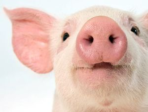 30c525bc1836b1f4bf36ef69ae3d4626--this-little-piggy-barnyard-animals